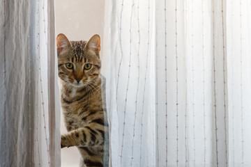 Gato Bengalí mirando a través de la ventana. Prionailurus bengalensis.