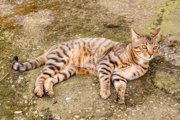 Gato Bengalí tumbado. Prionailurus bengalensis.