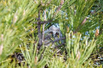 Joven Búho Chico entre las ramas de un pino. Asio otus.