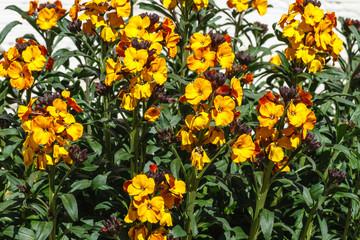 Plantas de Alhelí en flor. Erysimum cheiri.