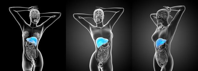 3d rendering medical illustration of the liver