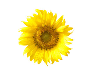 Sunflowers field isolated on white background