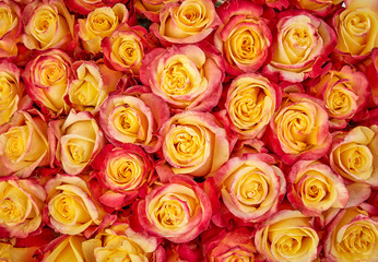 Rose Background. Colorful rose wall background