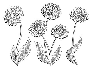 Dahlia flower graphic black white isolated sketch illustration vector