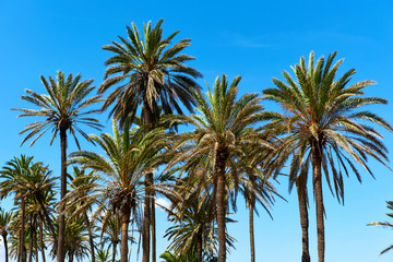 Lush palm trees against blue sky. Southern Spain