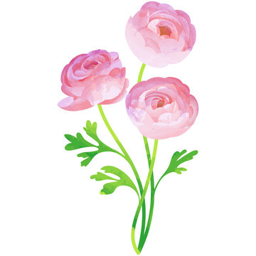 ranunculus - birth flower vector illustration in watercolor paint textures