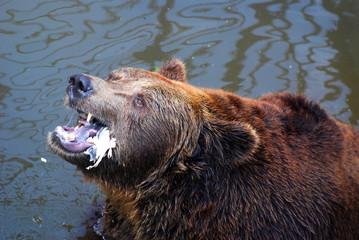 Old brown bear eat a fish remains, furious bear