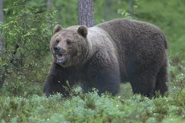 brown bear 17