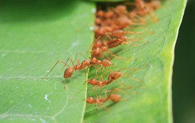 Ants Stitching Leaves Together Unity Concept