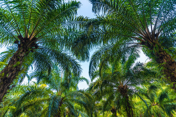 Palm tree plantation for energy industrial