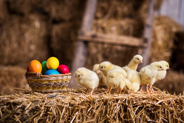 Yellow chickens on a haystack,Little Yellow Chickens,Little sleepy newborn yellow chickens in nest,newborn chickens in hay nest with egg,chicken with Easter eggs