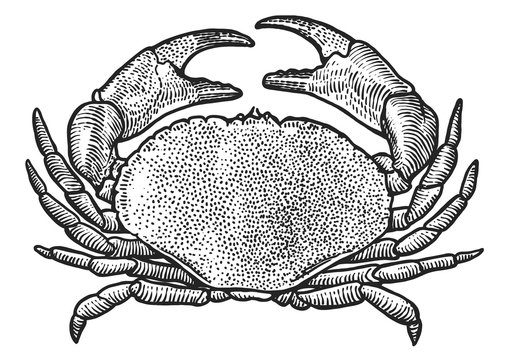 Crab illustration, drawing, engraving, ink, line art, vector