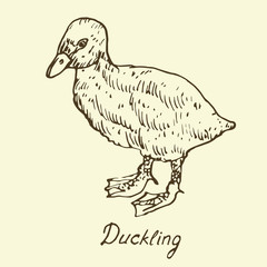 Duckling, sketch in pop art style, isolated vector illustration