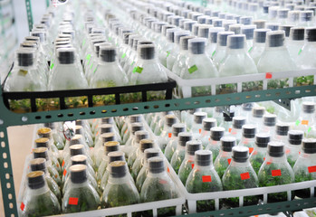 Orchid flower plant seedlings are being grown in bottles.