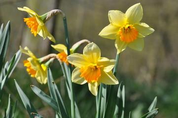 Gelbe Osterglocken leuten den Frühling ein