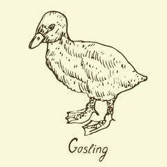 Gosling standing, sketch in pop art style, isolated vector illustration