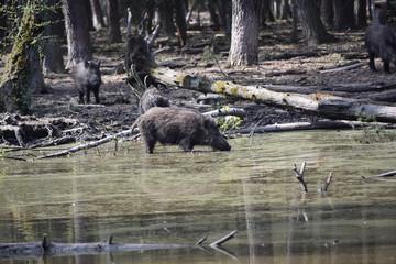 Wildschweine im Sumpf