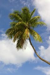 Caribbean. Palm-tree