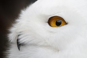 Fototapete - Snowy owl (Bubo scandiacus) portrait