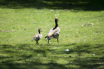 Caring mother-goose is walking her baby