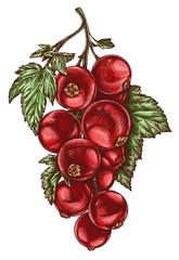 Engrave isolated currant hand drawn graphic illustration