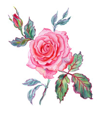 Pink rose, watercolor illustration on a white background.