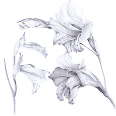 Gladiolus.  Wallpaper. Use printed materials, signs, posters, postcards, packaging.