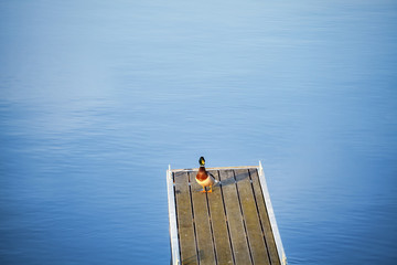 Lonely duck on an empty pier.
