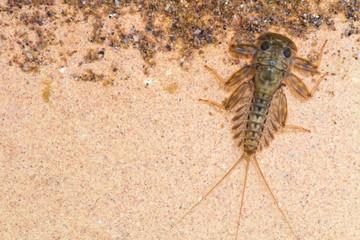 Ecdyonurus larvae scraping biofilm