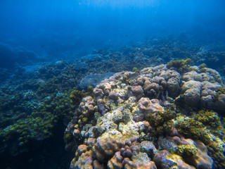 Underwater landscape with big round coral. Tropical seashore underwater photo.