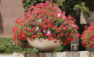 View of a large decorative pot with red geranium flowers