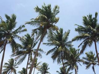 Palm Trees of Sri Lanka