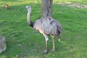 Nandu - Laufvogel