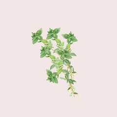 Botanical watercolor illustration of branch of thyme isolated on light pink background