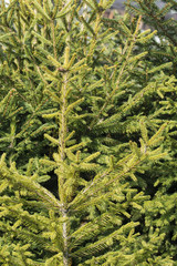Young spruce foliage.