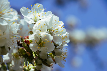 blossoming cherry tree, white cherry blossoms in springtime with blue sky in the background