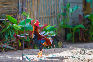 Colorful rooster in sunny village yard. Beautiful feathers of rooster
