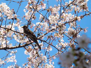 ムクドリと桜