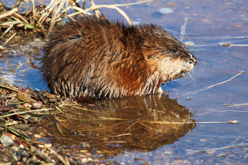 Muskrat sitting at the edge of a pond with a reflection in the water
