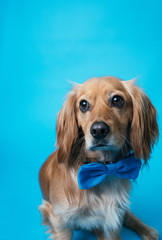 Puppy with bow tie on a blue backdrop