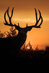 Mule Deer Sunset