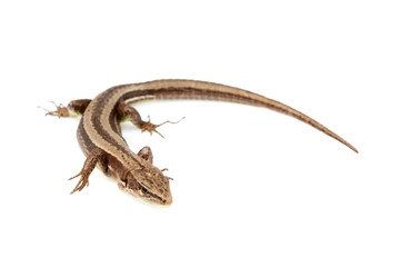 Live lizard ( Lacertilia) Lacerta agilis isolated.