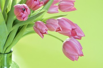 Pink tulips in a vase and light green background