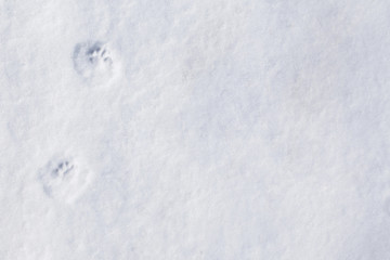 the tracks of a mink in the snow