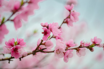 Pink blooming tree in garden, spring concept.