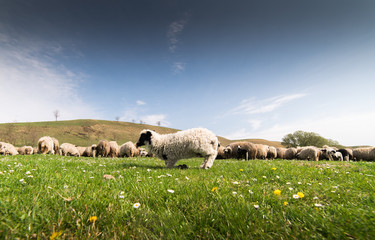 Herd of sheep on pasture in spring