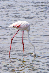 Pink flamingo in the water
