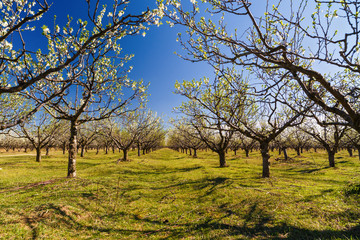 landscape with a beautiful orchard of plum trees in bloom, spring