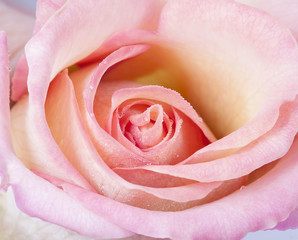 Macro picture of a pink rose.