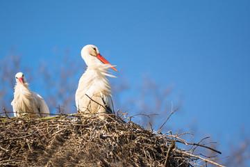 Brütender Storch in einem Nest